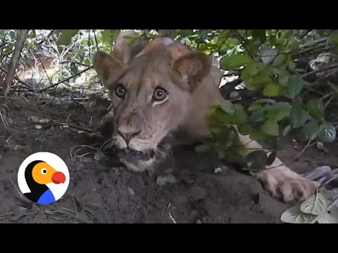 Thumbnail: Lion Caught In Trap Gets Rescued | The Dodo