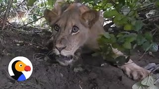 Lion Caught In Trap Gets Rescued | The Dodo