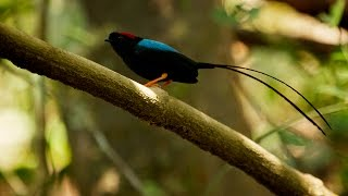 Manakin Mating Song and Dance