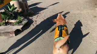 Here's some surfing dog therapy! Ripping with excitement.