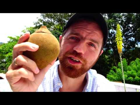 Discovering the South American Sapote (Chupa-chupa) fruit of Colombia