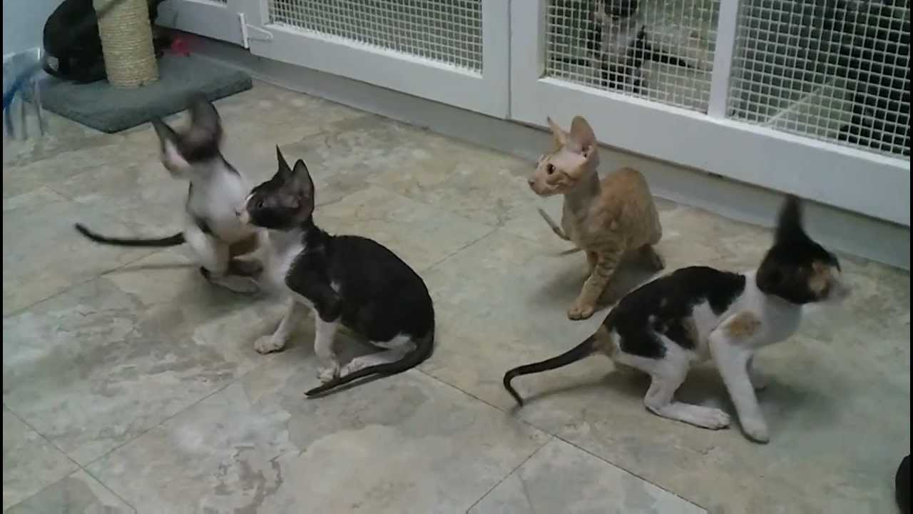 Cornish Rex kittens at the breeder