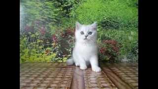 Британский серебристый котенок шиншилла