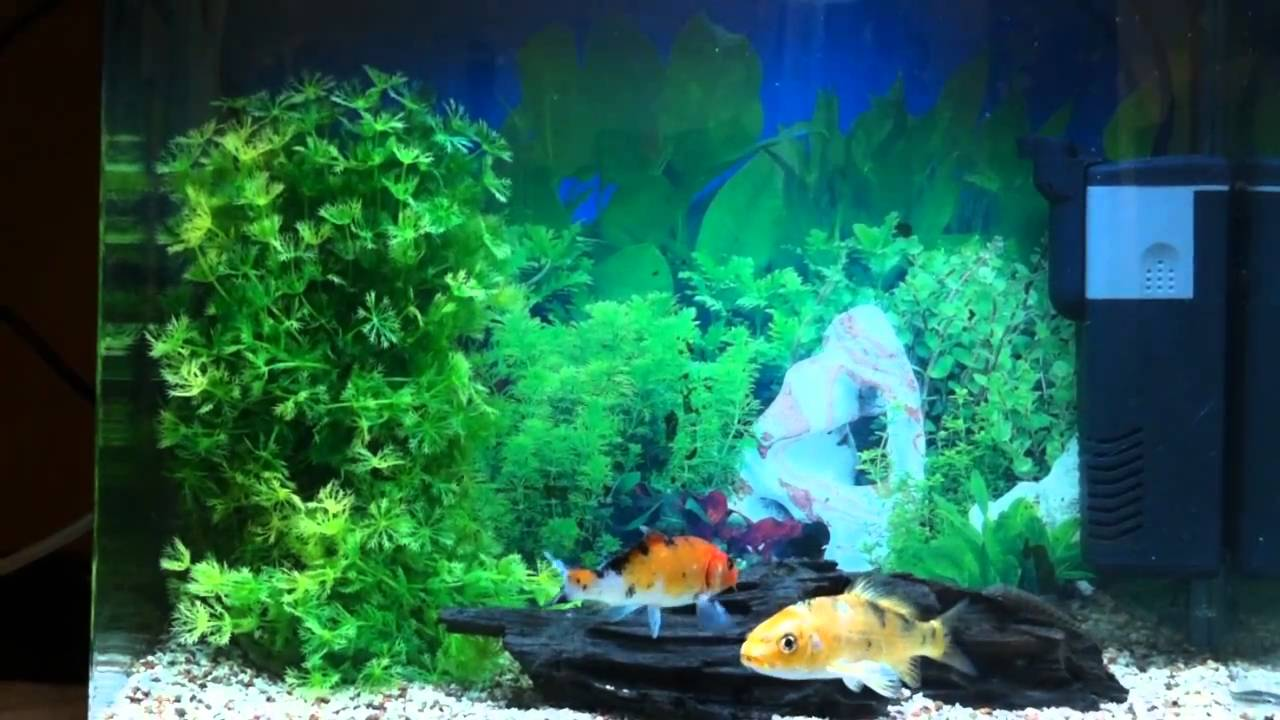 5 gallon koi fish aquarium youtube for 10 gallon koi tank
