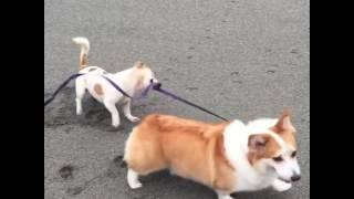 Dog walks another dog