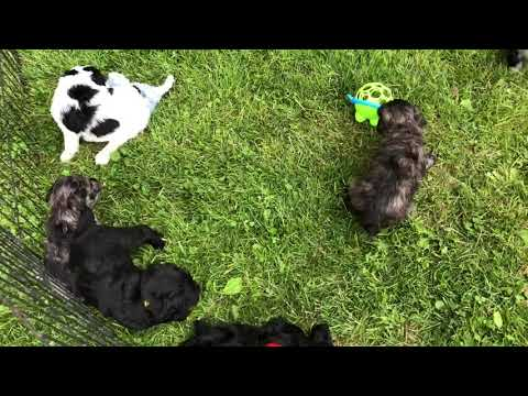 Glory's schnoodle puppies  5-24-19 In the grass for the first time.