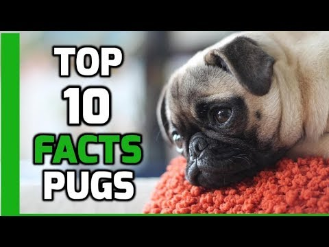 Top 10 Facts about Pugs - Pug Dog Breed Information