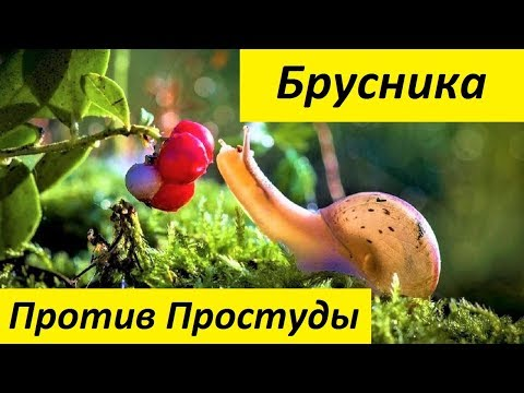 Брусника – Полезные Свойства и Лечебное Применение Брусники
