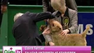 2010 Crufts Cairn Terrier in Group Judging