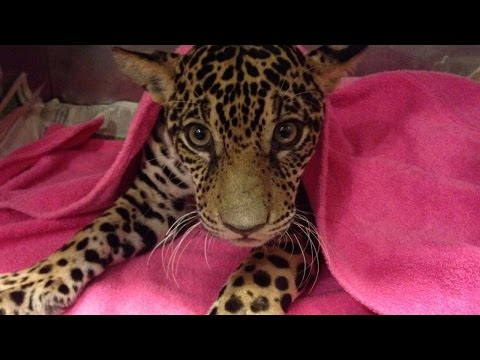 Thumbnail: Paralyzed Baby Jaguar Shot 18 Times Makes Incredible Recovery