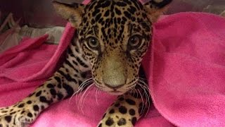 Paralyzed Baby Jaguar Shot 18 Times Makes Incredible Recovery