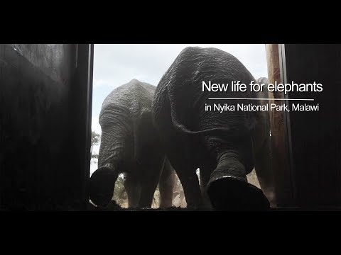 New life for Elephants in Nyika National Park