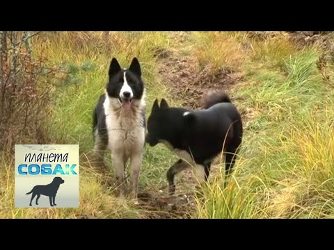 Русско-европейская лайка. Планета собак 🌏 Моя Планета