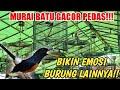 Murai Batu Gacor Bikin Emosi Burung Lain  Mp3 - Mp4 Download