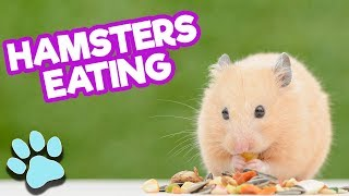 Super Cute Hamsters Eating May 2018 | Funny Pet Compilation | #thatpetlife