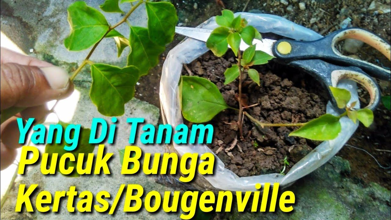 Cara Menanam Stek Pucuk Bunga Kertas Bougenville Youtube Cara budidaya bunga kertas
