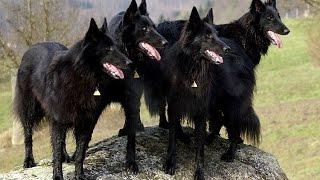 СОБАКА В ДОМЕ: ГРЮНЕНДАЛЬ  | ч.5 бельгийская овчарка(ОТКРОЙ, ДРУГ! ГРЮНЕНДАЛЬ - относится к семье бельгийских овчарок. Аутентичная и необычная порода не только..., 2016-01-06T13:24:37.000Z)