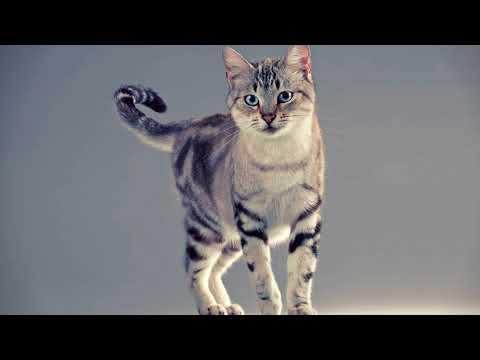Как распознать течку у кошки