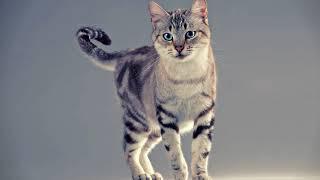 Как узнать, когда у кошки начинается течка? Как определить, когда у кошки начинается первая течка?