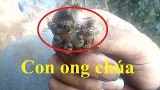 Lên rừng bắt ong mật   Bắt cả ong chúa
