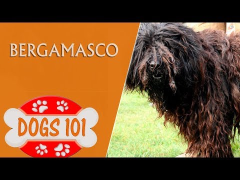 Dogs 101 -Bergamasco - Top Dog Facts About the Bergamasco