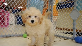 Bichon Poo, Puppies, For, Sale, In, Bridgeport, Connecticut, Ct, Newington, Manchester, Naugatuck, T