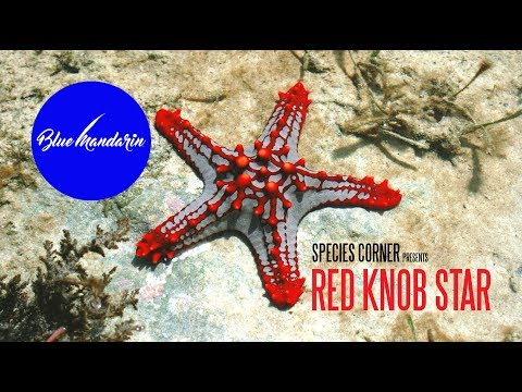 Species Corner - The Magnificent Red Knob Sea Star