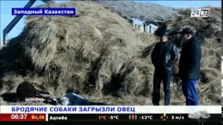 Собаки погрызли овец в Западном Казахстане