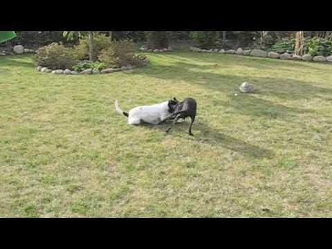 Italian Greyhound plays with Swedish farm dogs