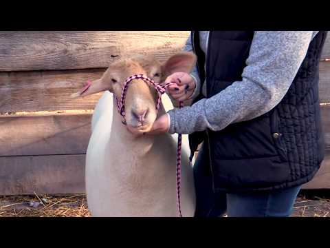 How To Put A Halter On A Sheep