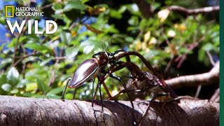 Stag Beetles Fight For Love Nat Geo Wild