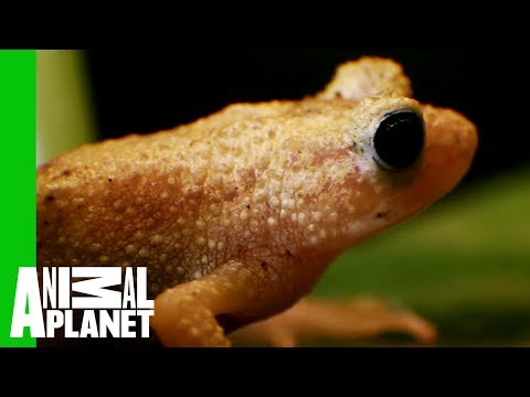 see-how-the-endangered-spray-toad-is-making-a-comeback-|-the-zoo