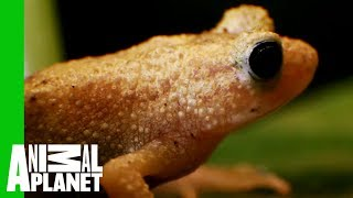 See How The Endangered Spray Toad Is Making A Comeback | The Zoo thumbnail