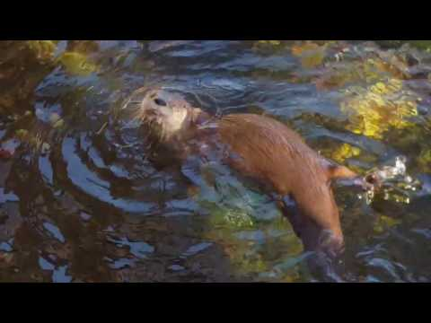 River Otters Enjoy A Crayfish Lunch At The National Mississippi River Museum & Aquarium