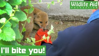 Snarling baby fox rescued from hole!