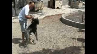 PCE e.V. Atila de Tauco (Import de la Legion ) Perro de Presa Canario
