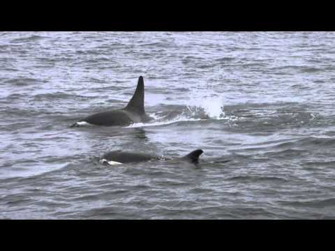 """Rare Sighting of """"Offshore"""" Type Orcas in the Monterey Bay"""