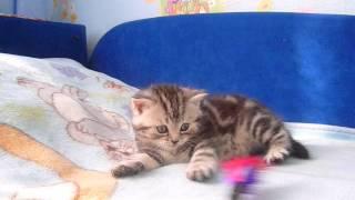 Продажа шотландских вислоухих котят Файна Киця Харьков