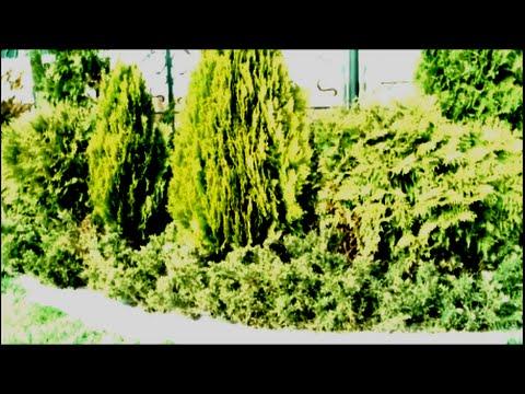 Саженцы туи всех сортов предлагает купить питомник веди. Владельцы приусадебных участков и больших ландшафтных парков по достоинству.