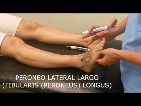 MUSCULO PERONEO LATERAL LARGO - YouTube