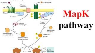 Ras raf mek erk signaling pathway (map kinase pathway)