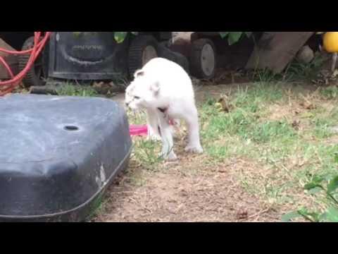 Charlie the Highlander Kitten explores the yard