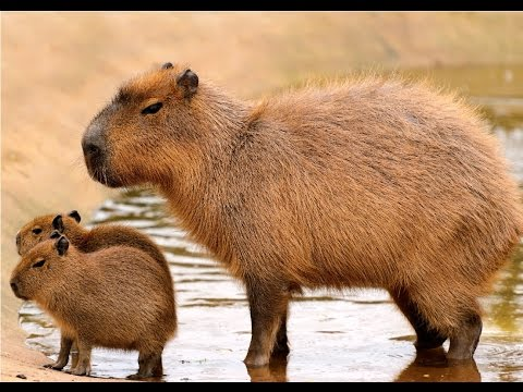 Amazing Facts About Capybaras