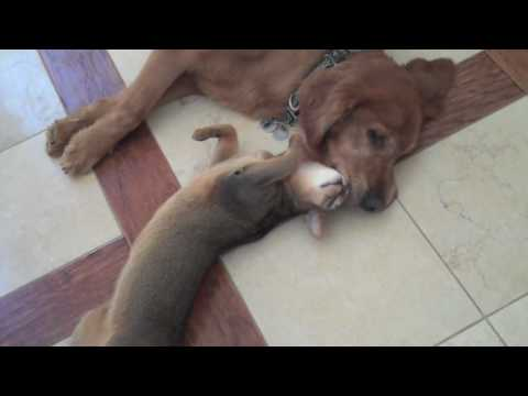 True Love Between Cat and Dog: The Abyssinian and the Golden Retriever