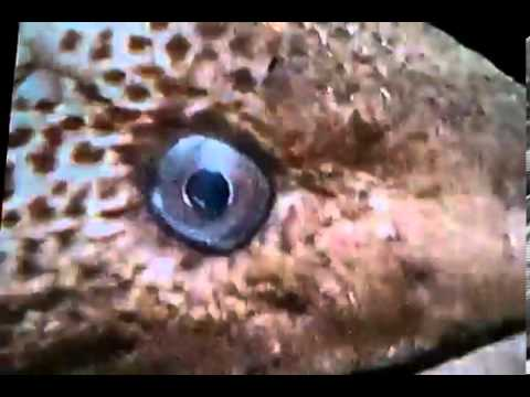 Epic fight figure 8 puffer fish vs doovi for Blowfish vs puffer fish