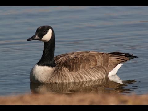 goose hunting calls hack