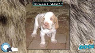 Bracco Italiano  Everything Dog Breeds