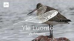 Testaa miten hyvin tunnet Suomen lintuja