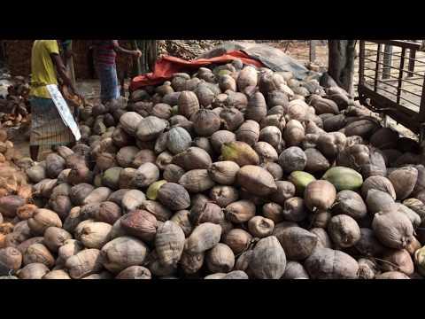 Coconut production in Lakshmipur District || লক্ষ্মীপুর জেলার নারিকেল চাষ