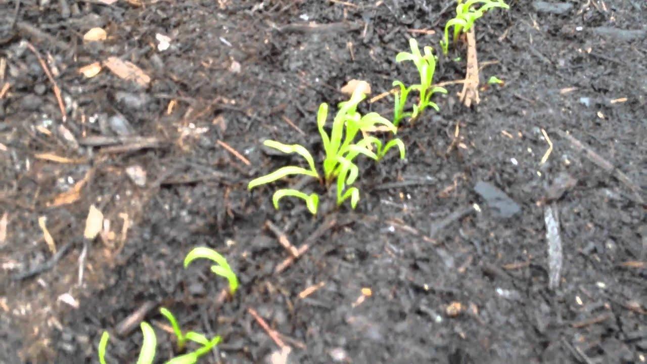 semer des pinards sur compost de d chets verts youtube. Black Bedroom Furniture Sets. Home Design Ideas